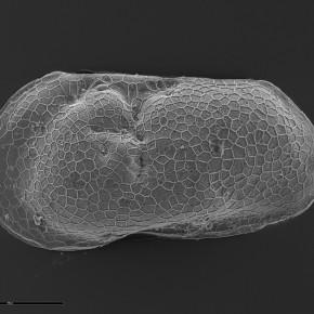 Limnocythere patagonica, ostrácodo estenohalino que habita ambientes continentales de baja salinidad, registrado hasta hoy únicamente en Patagonia Austral.