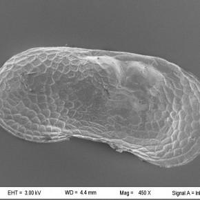 Valva de un ejemplar macho de Limnocythere sp., registrado en sedimentos continentales actuales de la Provincia de Buenos Aires.