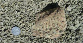 Bivalvo trigonioideo del género Steinmanella de la Formación Agrio, Cretácico Inferior, cuenca Neuquina