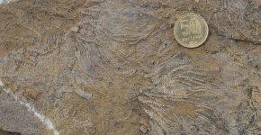 Concentración fósil de crinoideos pedunculados. Vista en planta. Formación Agrio, Miembro Pilmatué, Valanginiano tardío. Localidad: Cerro Mesa, Neuquén.