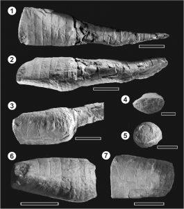Ascocéridos de la Formación Eusebio Ayala, Paraguay Oriental. Hirnantiano? Notar que se preservaron ambas partes de la conchilla, la parte juvenil cirtocónica, y la parte madura brevicónica.