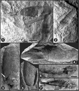 Diversos cefalópodos de la Formación Vargas Peña,.