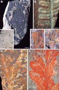 Fósiles de plantas comprimidas e impresas de la Formación Pedra de Fogo.