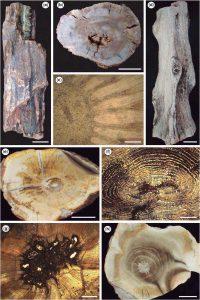 Gimnospermas petrificadas de las Formaciones Motuca.
