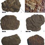 El coprolito Lumbricaria Münster en el Tithoniano temprano de la Cuenca Neuquina, Argentina: primera descripción fuera del Tethys y nueva evidencia de un productor holothuroideo