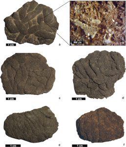 Figura 1: Lumbricaria intestinum preservada como concreciones y detalle de los artejos de saccocómidos que componen al coprolito.