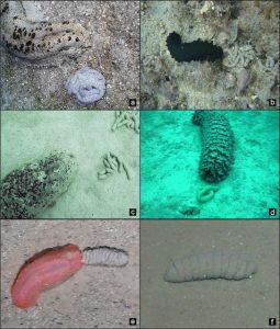 Figura 2: Ejemplos actuales de heces de holoturoideos con morfología similar a Lumbricaria.