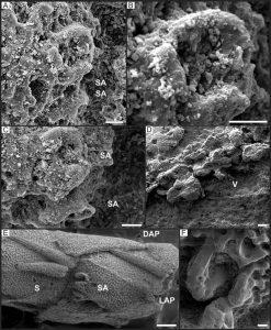 Articulaciones espinales, características de vértebras y comparación con material tipo de Ophiopetra lithographica