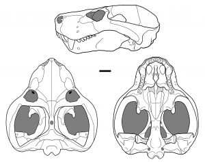 Dibujo lineal del cráneo de Vetusodon