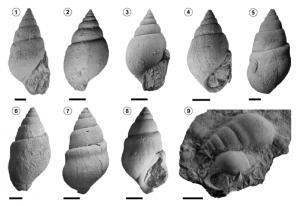 El gastrópodo Paleoanculosa macrochilinoides (Doello-Jurado), Miembro La Tosca, Formación Huitrín, Sierra de Cara Cura