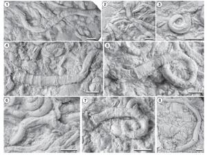 Serpúlidos del género Parsimonia, Miembro La Tosca, Formación Huitrín,