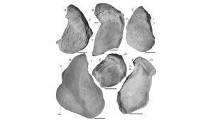 Ejemplares de Aetostreon subsinuatum (Leymerie), Zona de Argentiniceras noduliferum, Berriasiano, Fm Vaca Muerta, Sierra de Cara Cura