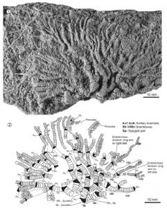 Isocrinus (C.) covuncoensis n. sp., detalle de la corona y ramificación de brazos