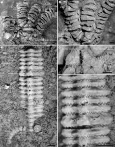 Holotipo de Isocrinus (C.) pehuenchensis n. sp. mostrando la teca, parte basal de la corona y columna