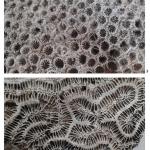 Identifican corales en el lastre de un galeón español del siglo XVIII